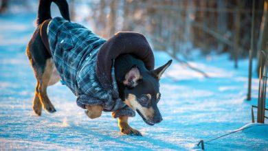 Photo of آیا در طول زمستان سگ من نیاز به مراقبت بیشتری دارد؟