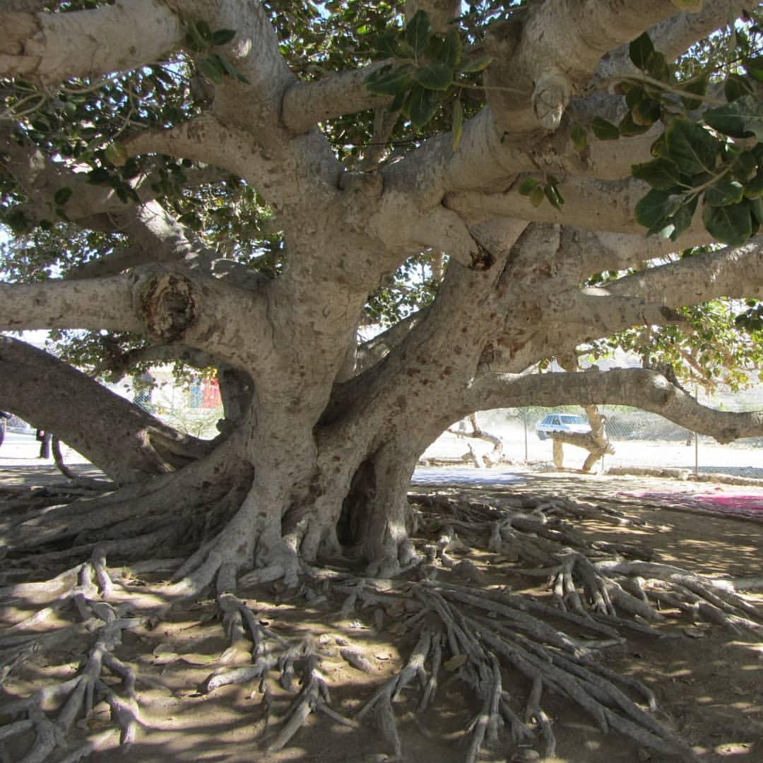 درخت مکرزن چابهار