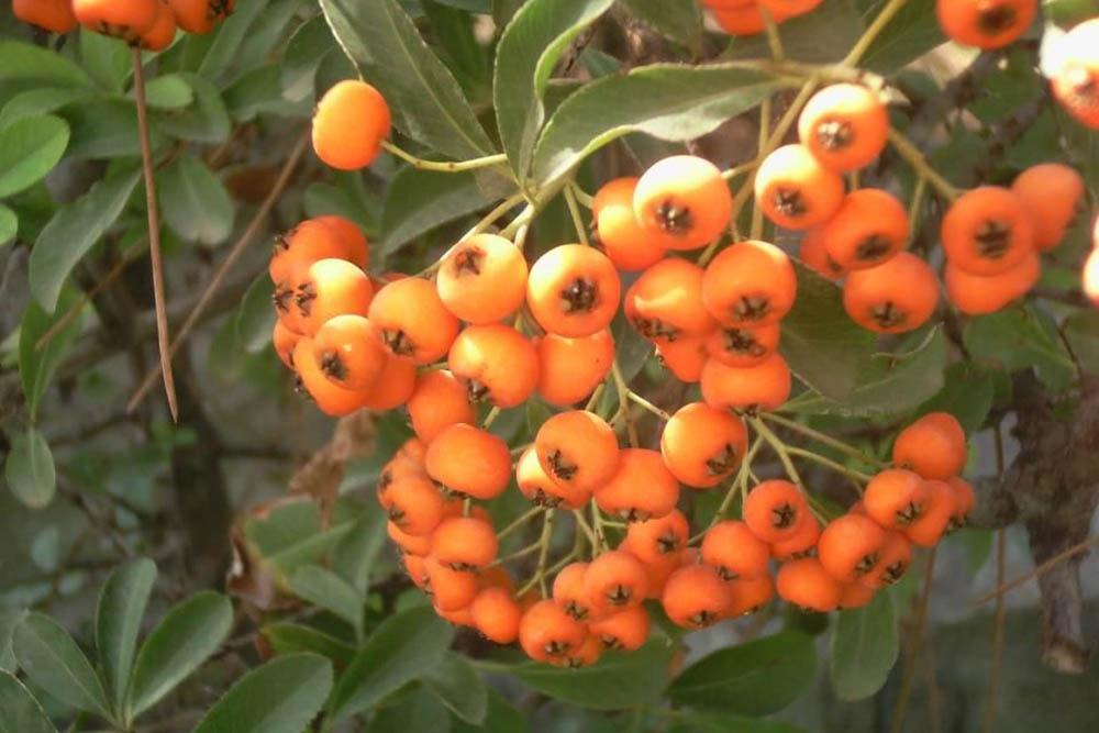 زالزالک یکی از میوههای پاییز